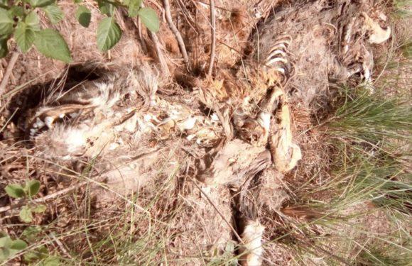 बाघ का कंकाल मिलने से सनसनी,अब तक मिल चुके हैं 4 शव