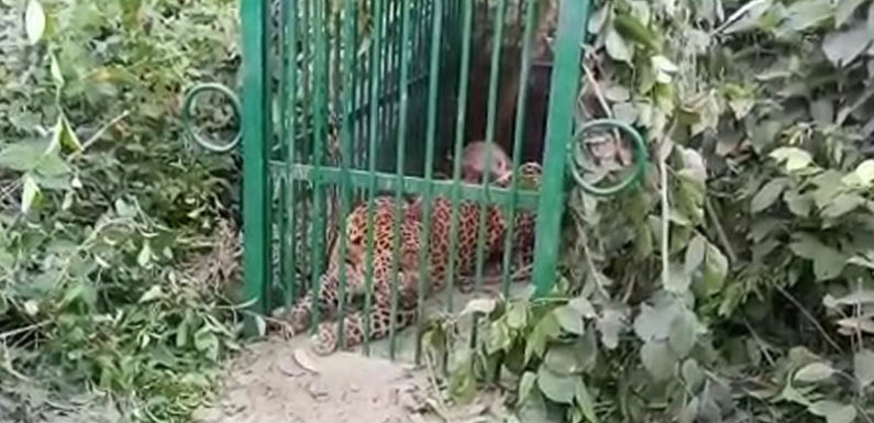 तेंदुए के आतंक से थर्राता था इलाका,फँसा वन विभाग के जाल में