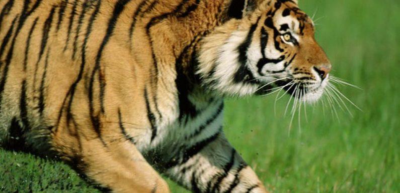 खेत में काम कर रहे किसान पर बाघ ने किया हमला