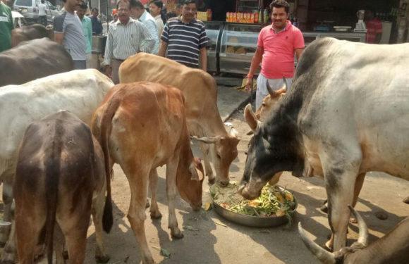 विश्व पर्यावरण दिवस पर बेसहारा गायों को कराया गया भोजन