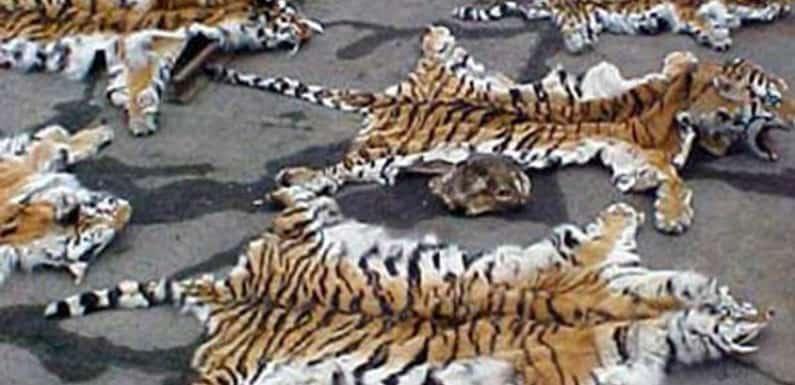 हाईकोर्ट ने दी बाघ की पांच खालों की जाँच सीबीआई को देने की चेतावनी
