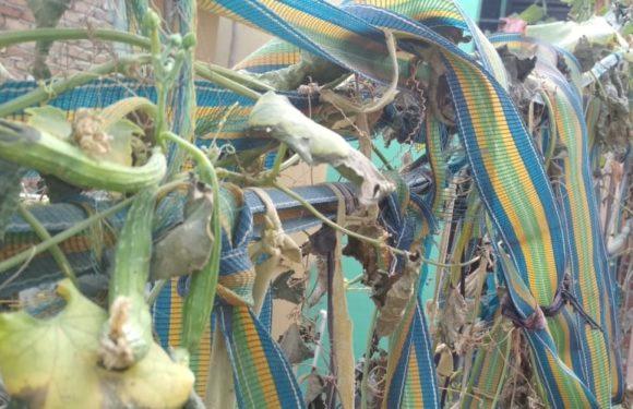 केमिकल युक्त सब्जियों से बचने के लिए घर की छत पर ही उगाईं सब्जियाँ