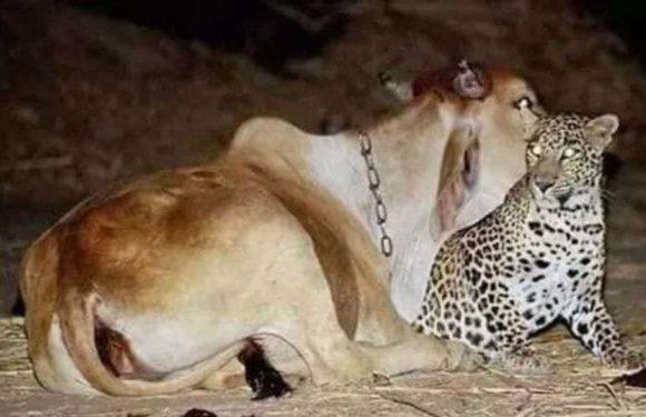 गो माता की शरण में तेंदुआ तस्वीरें हुईं वायरल, पीलीभीत का मामला