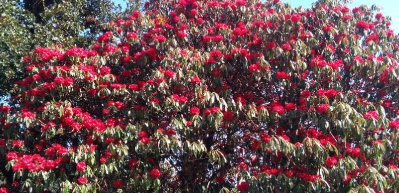 चमोली के जंगलों में हर तरफ लालिमा छाई है,वजह हैं खास किस्म के फूल