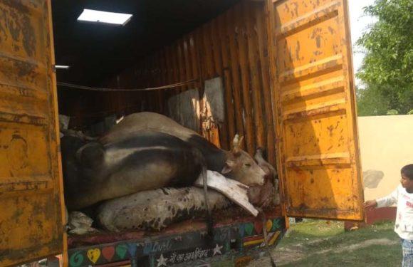 गौ तस्करी : कंटेनर में 28 गोवंश पशुओं की दम घुटने से मौत