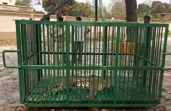 ग्रामीणों की पिटाई से मादा तेंदुए की मौत दो नामजद, कई अज्ञात पर मामला दर्ज