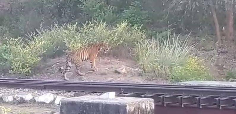 टाइगर ने बढ़ाई राहगीरों में दहशत, कतर्नियाघाट में रेलवे ट्रैक पर दिखा शेर