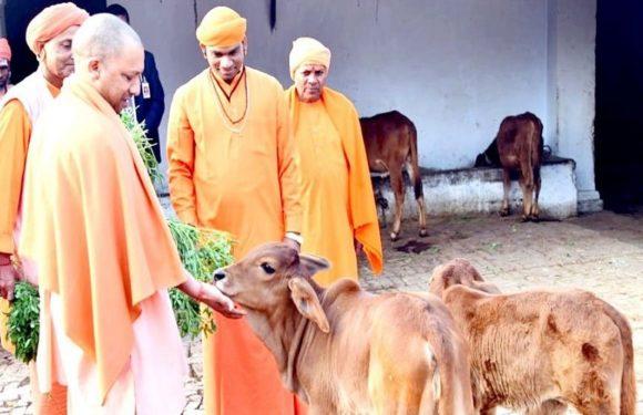 योगी ने कसा शिकंजा तो छः माह में गिरफ्तार हुए 3867 गौ अपराधी