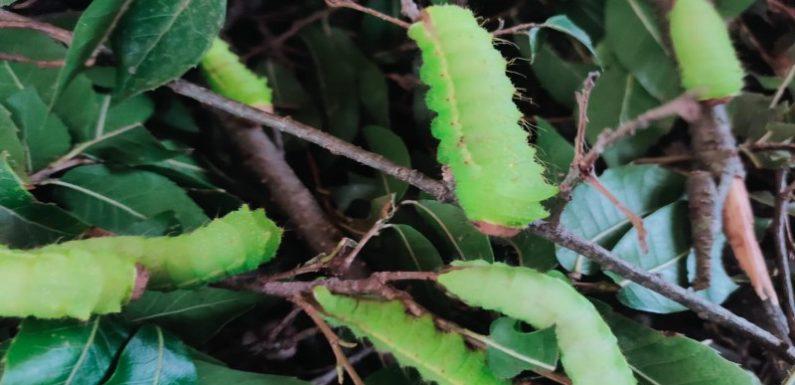 विकासखंड पोखरी के ग्राम पंचायत नैल में ओक टसर रेशम कीटपालन