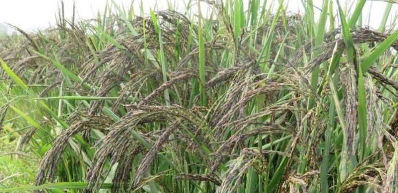 कालानमक चावल की खेती कर इस गाँव के किसान बन रहे आत्मनिर्भर