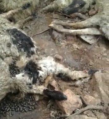 झाँसी में भेड़ के रक्तरंजित शव मिलने से ग्रामीणों में दहशत