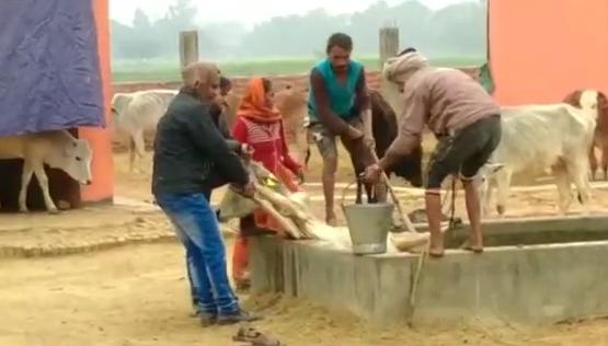 सिद्धार्थनगर : यहां की गौ शालाओं का हाल बद से बदतर