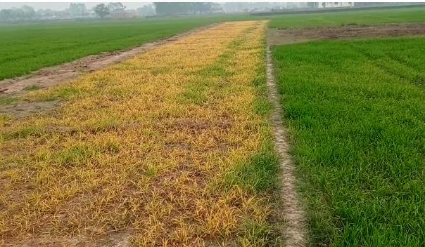 देवरिया : किसान की फसल को कीटनाशक छिड़क कर किया नष्ट
