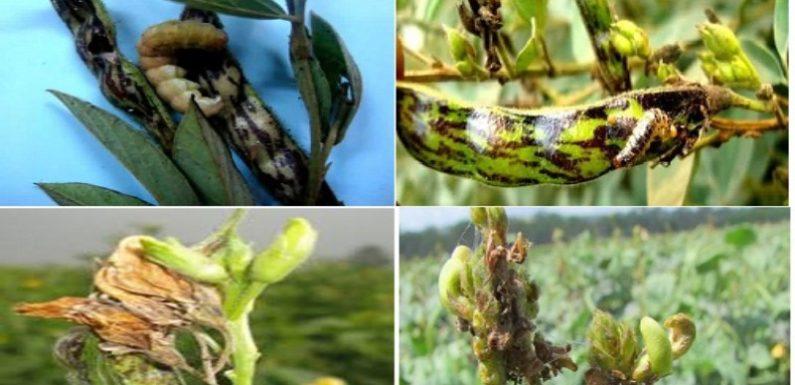 समय रहते दलहनी फसलों को फली बेधक कीट से बचाये: डॉ अवनीश