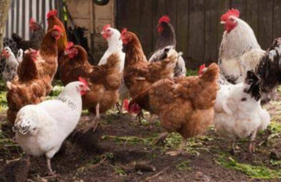 बैकयार्ड मुर्गी पालन से कम लागत में अच्छी आय: डॉ विवेक