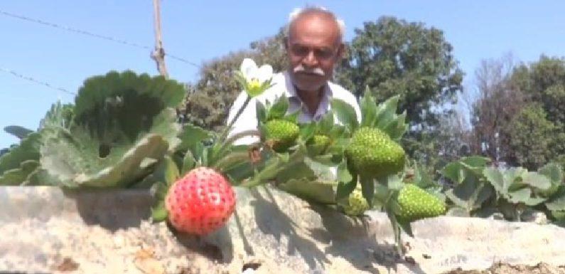 कानपुर के किसान ने अपने खेतों में उगाई कैमारोजा प्रजाति की स्ट्रॉबेरी